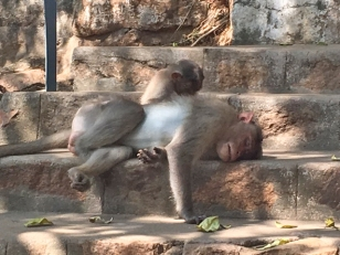 monkeys arunachala