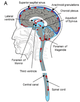 A-The-scheme-of-the-cerebrospinal-fluid-system-with-location-of-the-choroid-plexuses